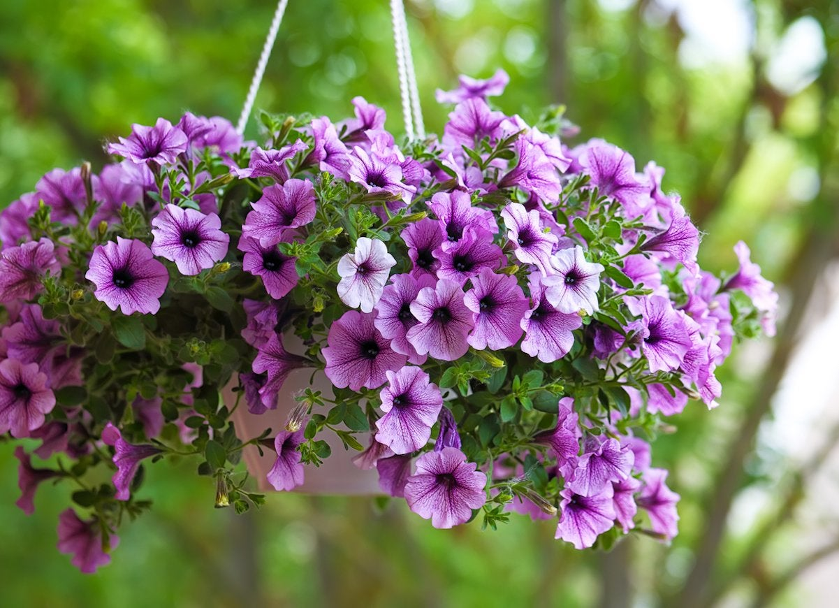 Best Hanging Plants Bob Vila