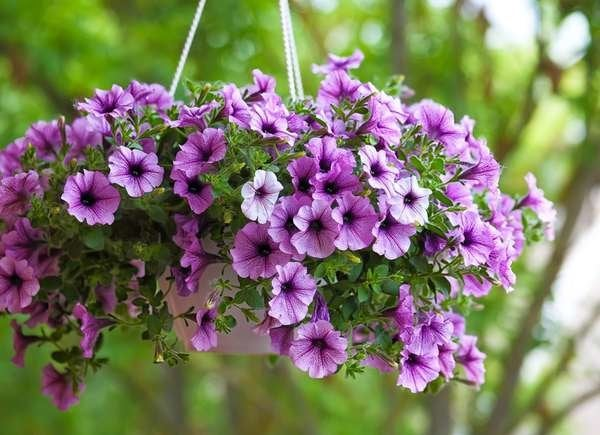 Petunias For Hanging Baskets