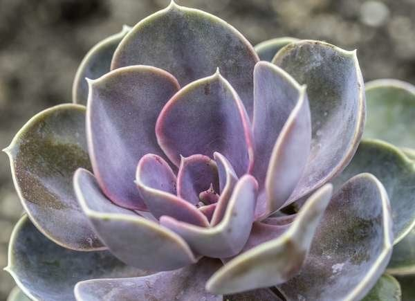 Painted Lady Succulent