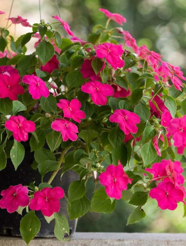 Impatiens Hanging Baskets