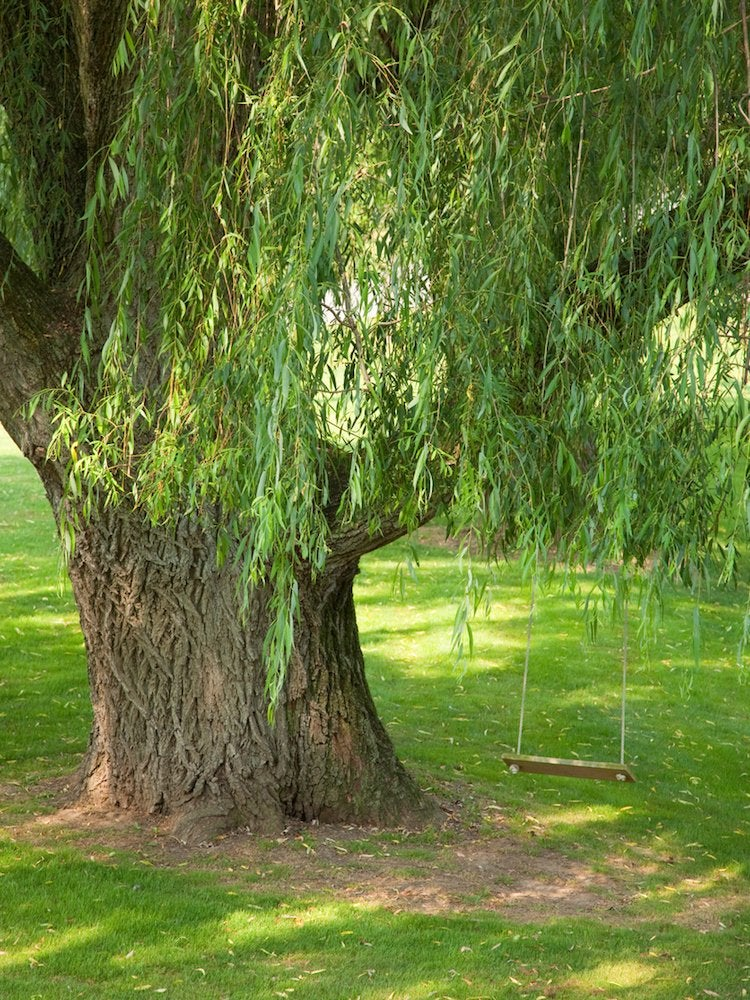 Weeping willow shade tree