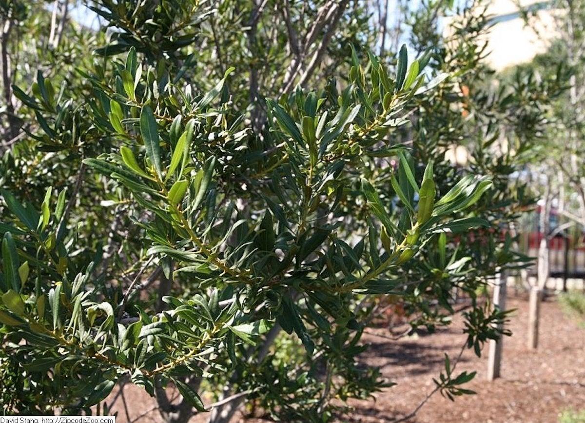 Wax myrtle shade trees