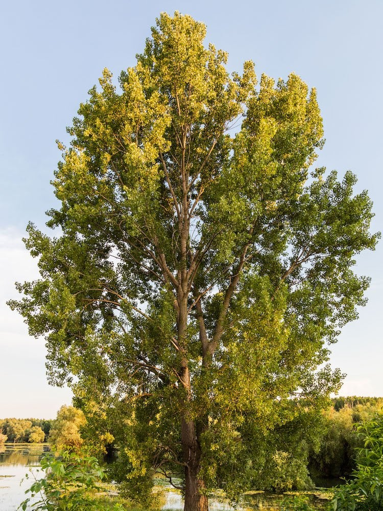 Hybrid poplar shade tree