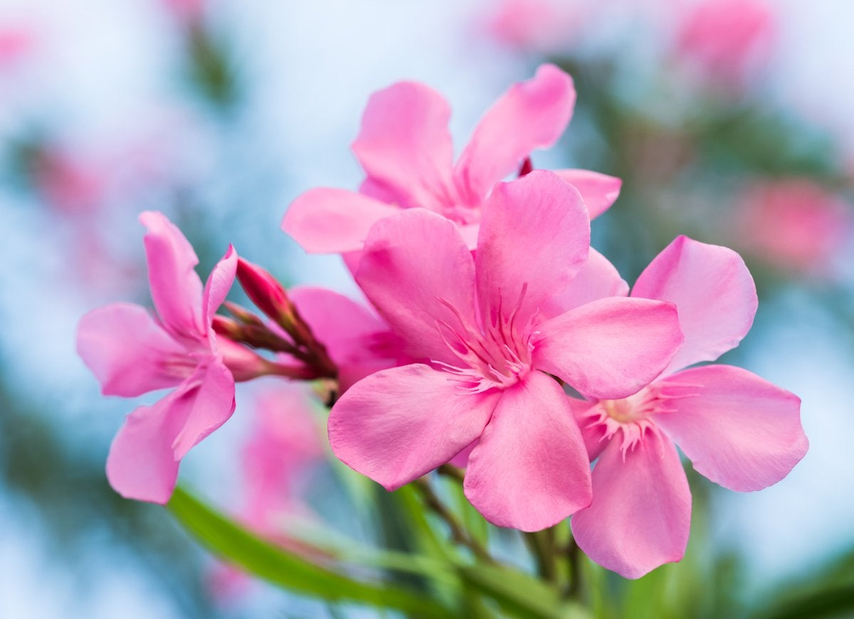 10 pretty plants you didnt know were poisonous bob vila while its showy flowers are a natural draw for those looking to add a drought tolerant deer resistant plant to their garden oleanders are one of the more izmirmasajfo