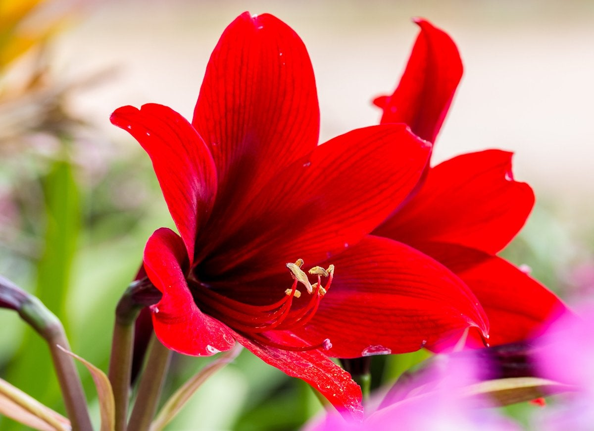 10 pretty plants you didnt know were poisonous bob vila carrying a toxic alkaloid called lycorine the indoor amaryllis bulb will cause unpleasantness to any household pet that tries to snack on itfrom diarrhea izmirmasajfo