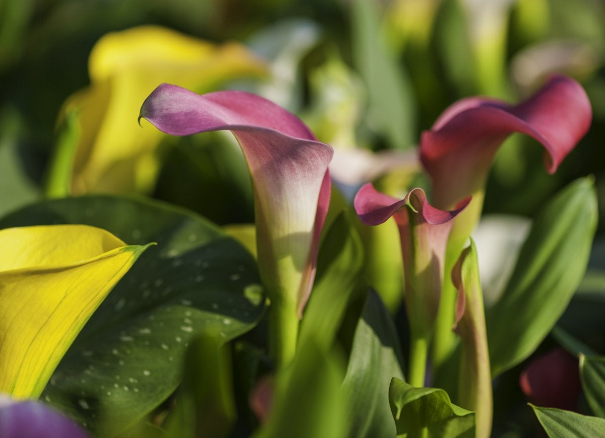 10 pretty plants you didnt know were poisonous bob vila even just a bite or two of the elegant calla lily can cause liver failure in pets and the mouths and tongues of humans to swell izmirmasajfo