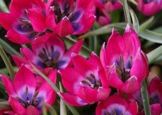 Species Tulips: Little Wonders