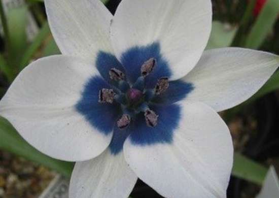 Tulipa humilis albocaerulea pottertons co uk