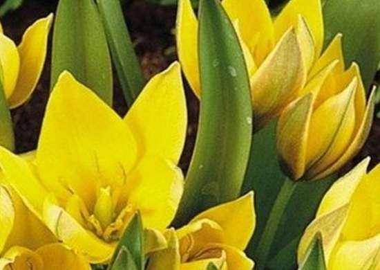 Tulipa urumiensis digdropdone