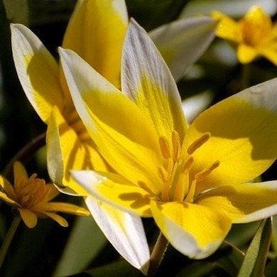 Tulipa tarda plant world seeds