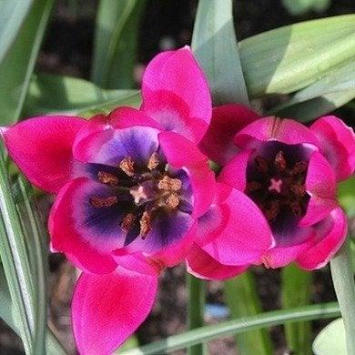 Tulipahageri littlebeauty mygarden