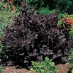 Royal Purple Smoke Bush