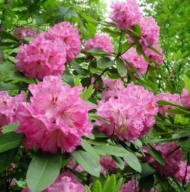 Rhododendrons-thescottarboretum