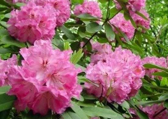 Types Of Rhododendrons 10 Irresistible Varieties For Your Garden