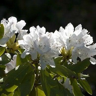 Rhododendronbouledeneige_web