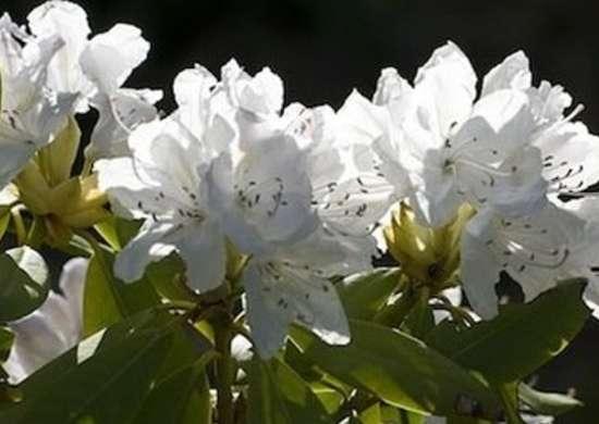 Rhododendronbouledeneige web