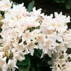 White Angel Rhododendron