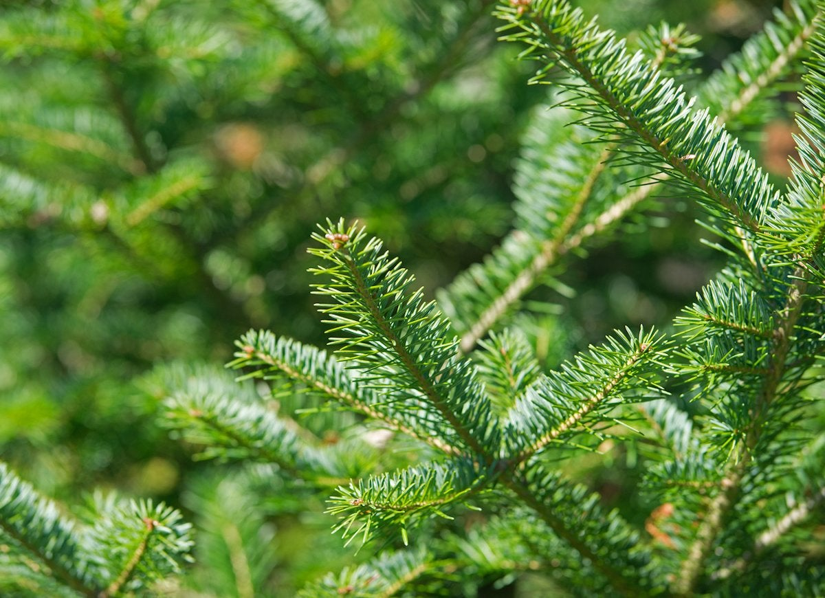 Balsam fir tree tips