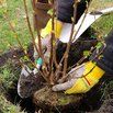 How to Plant Shrubs