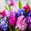 Colorful Hyacinths