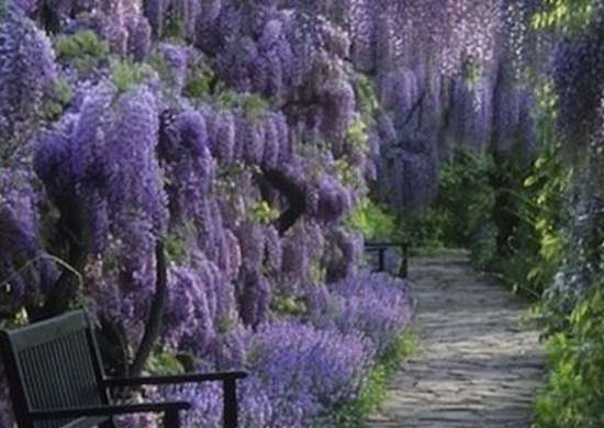 Wisteria Garden Path