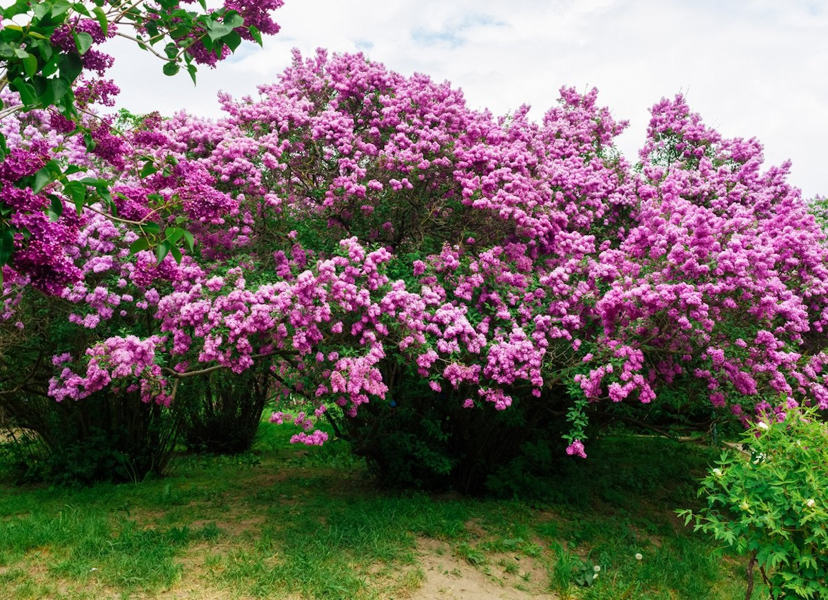 Flowering Evergreen Hedges