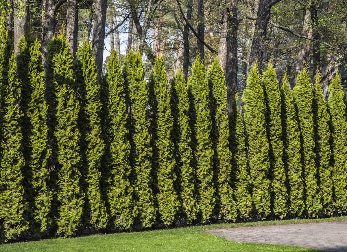 Junipers Are Coniferous Evergreens That Vary In Size And Shape From Low Spreading Shrubs To Tall Shapely Trees Of Up 40 Feet Have Needle Like