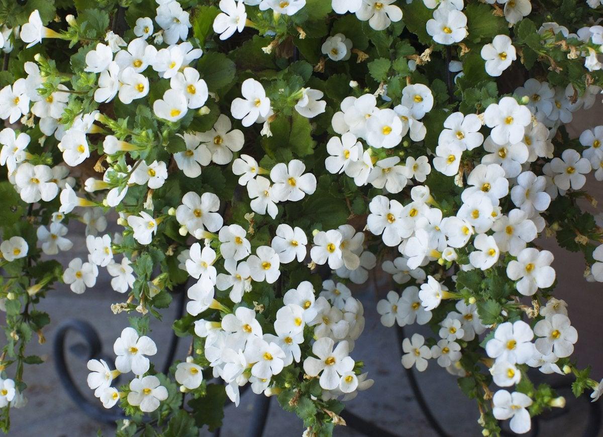 Best Hanging Plants Bob Vila